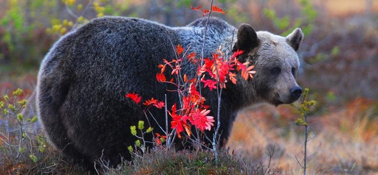 La strada che minaccia l orso bruno marsicano mountcity for Cabina di montagna grande orso